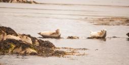 Seals near Staffa (Source - Robert Brown)