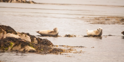 Seals near Staffa (Source - Robert Brown)